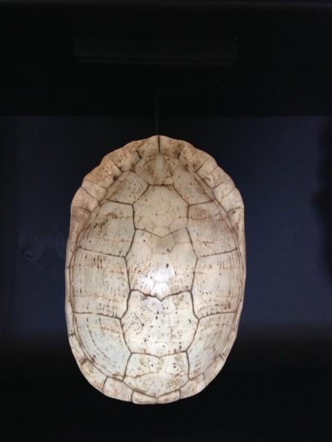 Schildpad wit op zwarte sokkel H40